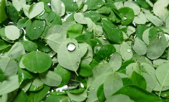 The miracle leaf that can 'cure 300 diseases'