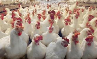 Lagos confirms outbreak of bird flu at Badore
