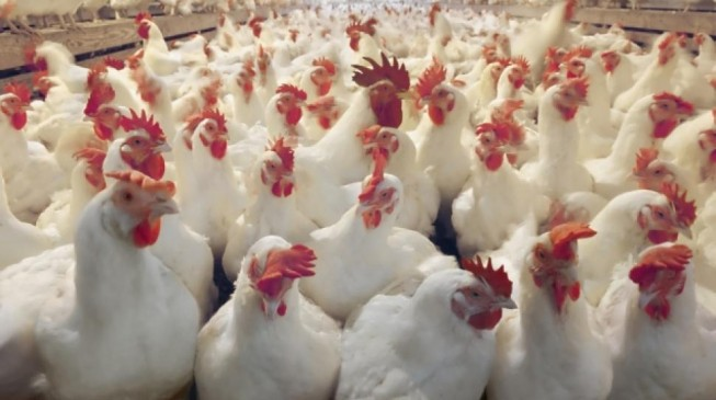 Lagos confirms outbreak of bird flu at Badore