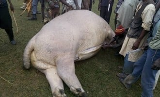 Gombe villagers kill hippopotamus, share meat