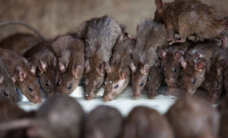 Aso Villa and the audacity of rats