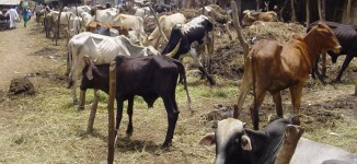 FG to provide security, insurance for cattle farmers