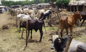 Cattle breeders break silence on Kaduna crisis, say 'our members also being killed'