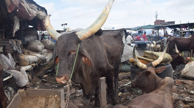 EXTRA: Nigerian cows are the worst milk producers in the world, says Ogbeh