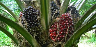 Golden period for oil palm companies