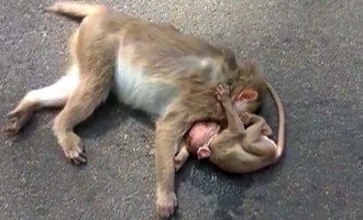 Inconsolable baby monkey mourns dead mother