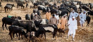 Of cows, herdsmen and the silence of the Rock