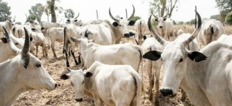 Okun people in Kogi reject cattle colonies