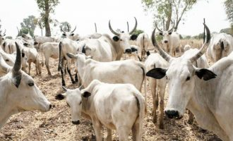 Obaseki: I haven't entered any agreement on cattle colony
