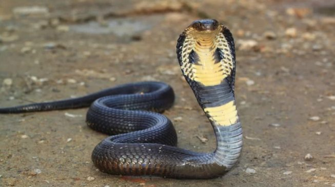 Image result for Nine die as Plateau clinic treats 430 snakebites