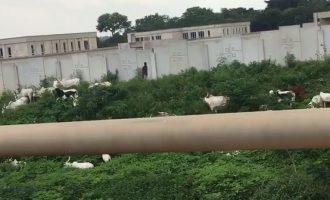 VIDEO: Herdsmen graze cattle inside national assembly