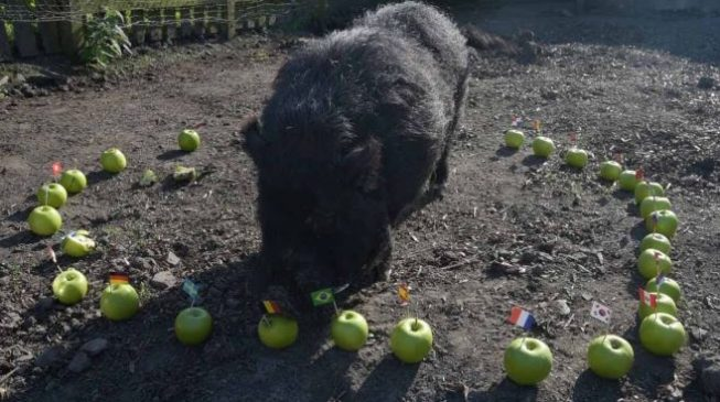 Super Eagles and Marcus the pig at the World Cup