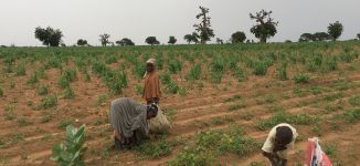 Orphaned by bandits: Inside Zamfara village where children abandon school for farming
