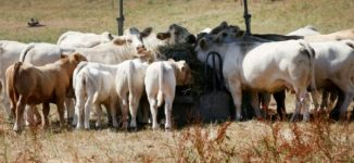 No grass: Drought hits cows in Europe