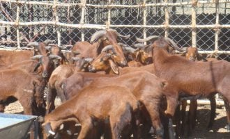 EXTRA: Agency detains 159 goats, sheep straying in Minna