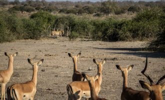 Nigeria, where impala eats lion for supper